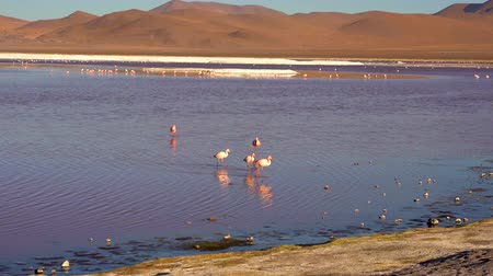 геотермальный : Flamingoes in the salty lake Laguna Colorada in the Eduardo Avaroa Park in Bolivia, South America