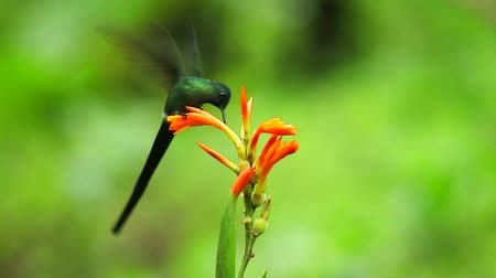 птица : Long-tailed sylph humming bird feeding on flower.