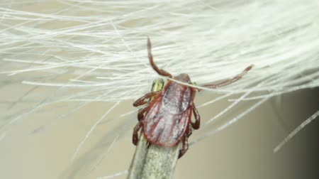 choroba : A Tick hitches a lift on a dog. Macro. Wideo
