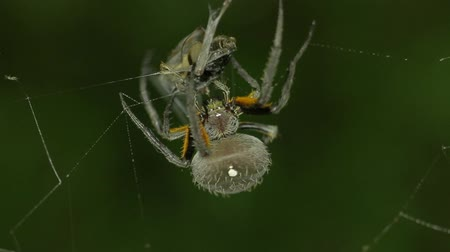 kriket : Orb weaver spider, wraps and delivers bite to cricket. 3 of 5.