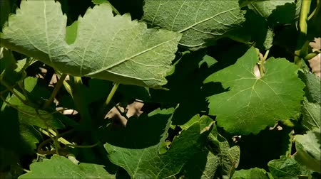 ratchaburi : grape vines leaves