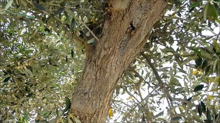 olive colored : Olive tree Stock Footage