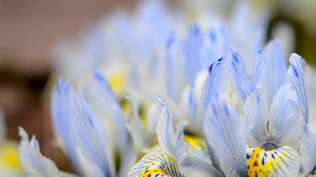 írisz : Blue and yellow small iris petals tremble in the wind close-up Stock mozgókép