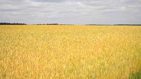 terep : field of ripe wheat on a sunny day, the spikes of grain moving wind blows