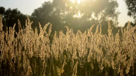 soft tip : beautiful dry fluffy grass at sunset on wind moves