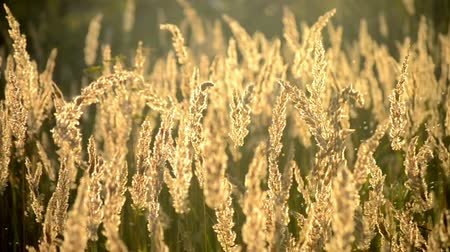 засушливый : Playing with a dry, soft and fluffy grass in the summer, autumn evening at sunset, sunrise