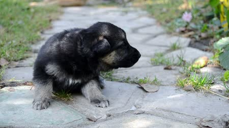 alsatian : Black German Shepherd puppy is on track and whines Stock Footage