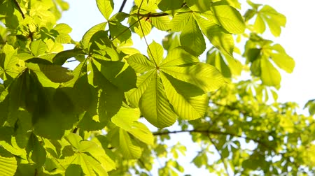 лиственный : leaves of the tree horse chestnut in the wind Стоковые видеозаписи
