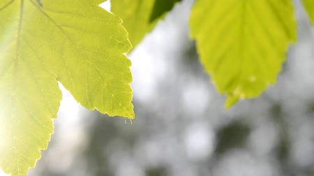 лиственный : Green leaves on a blurred background macro Стоковые видеозаписи