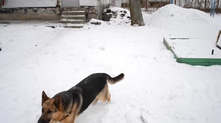 shepherds house : German Shepherd Dog is playing jumping over snow and catches snow, high jumping. Winter day near the old shabby house in the village, Ukraine Stock Footage