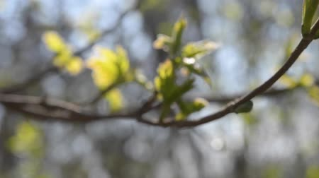 лиственный : Freshly dissolved leaves on a branch on a sunny day close-up. Movement around the branch. Video about the spring foliage in the forest and park Стоковые видеозаписи