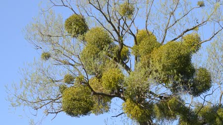 лиственный : A sick tree. Mistletoe on the branches of a tree. Medicinal plant. Стоковые видеозаписи