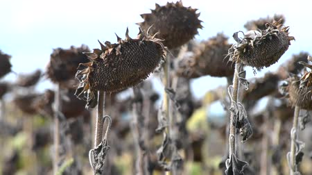 ölen : dried sunflower due to drought close-up Stok Video