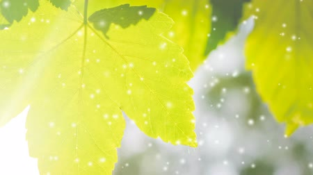 лиственный : Spring leaf close-up with sunlight with many soft flying white poplar fluff, filter effect. Cinemagraph seamless loop animation motion gif render background