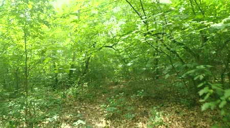 тропинка : Walk in the forest. Walking on the wood. Moving movement through the foliage of green trees or shrubs. Green plantations areas on sunny day on summer.