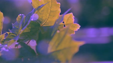 лиственный : Maple leaves close-up wind on a sunny day. Green leaf close-up on a blurred gray background with solar illumination
