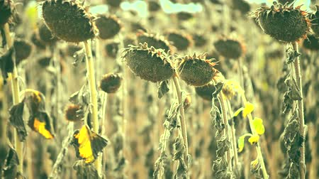 wasteland : Dried sunflower due to drought close-up