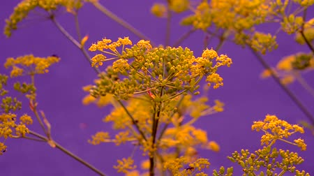 asal : Inflorescence of a yellow flower dill against a purple background close-up