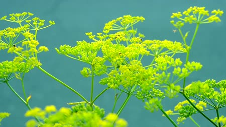 asal : Inflorescence of a yellow flower dill against a blue background close-up