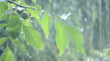 avelã : Heavy rain shower downpour cloudburst rainfall comes in daytime. Rain drops dripping on big green leaves and fetus of the tree Walnut close-up. Background concept rainy driving pouring rain with sound