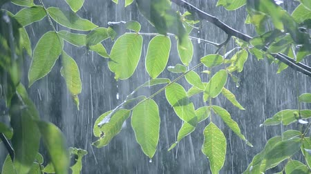 yağmur yağıyor : Heavy rain shower downpour cloudburst rainfall comes in the daytime. Rain drops dripping on the big green leaves of the tree Walnut close-up. Background concept rainy driving pouring rain with sound Stok Video