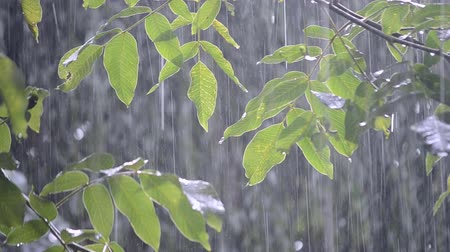 avelã : Heavy rain shower downpour cloudburst rainfall comes in the daytime. Rain drops dripping on the big green leaves of the tree Walnut close-up. Background concept rainy driving pouring rain with sound Stock Footage