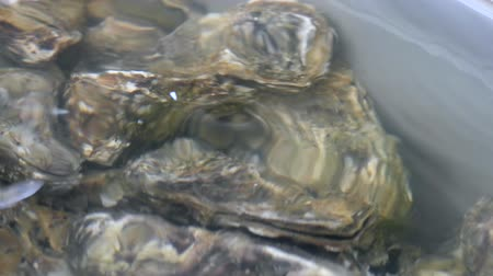 istiridye : Oyster in water. Group of several fresh oysters in clear water. Oysters in store before cooking.
