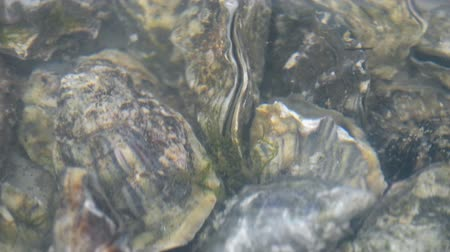 aphrodisiac : Oyster in water. Group of several fresh oysters in clear water. Oysters in store before cooking.