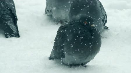 gif : Gray pigeon dove sit on the snow on cold frosty day in winter during snowfall, falling snowflakes, spots white color. Winter Christmas New Year background. Cinemagraph seamless loop Stock Footage