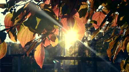 volantino : Sun shines through red leaves in autumn close-up. Yellow leaf on branch on background of blurred yellow leaves and blue sky close-up. Autumn Leaves swinging on tree. Sunny warm autumn concept. Filmati Stock