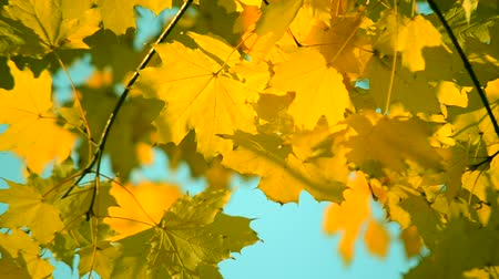 őszies : Yellow leaf on branch on background of blurred yellow leaves and blue sky close-up autumn day. Autumn Leaves swinging on tree. Beautiful autumn natural backdrop. Sunny warm autumn concept. Stock mozgókép
