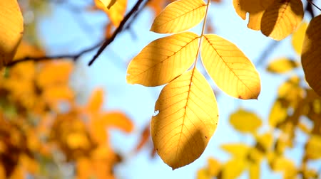 broşür : Yellow leaf on branch on background of blurred yellow leaves and blue sky close-up autumn day. Autumn Leaves swinging on tree. Beautiful autumn natural backdrop. Sunny warm autumn concept. Stok Video