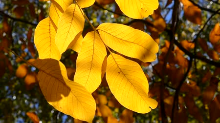explodindo : beautiful yellow leaf on a branch spins in the wind on a sunny autumn day close-up