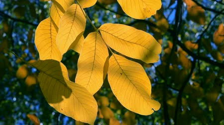 bad mood : Yellow and brown leaves on branches on tree autumnal season. Leaves on branches tree sway in wind autumn day. Beautiful natural autumn backdrop. Stock Footage