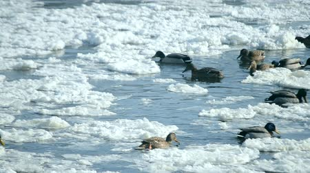 there : Ducks swim on the surface of the water in the winter among snow and ice