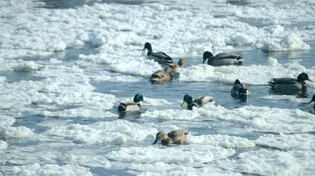 утки : Ducks swim on the surface of the water in the winter among snow and ice