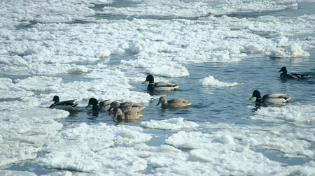 mallard : Ducks swim on the surface of the water in the winter among snow and ice