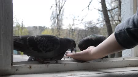 influenzy : Feeding birds pigeons from hand on spring sunny day. Girl feeding birds doves with hands on home window sill close-up. Nature wildlife outdoor. Feathered wingy eating. Dostupné videozáznamy