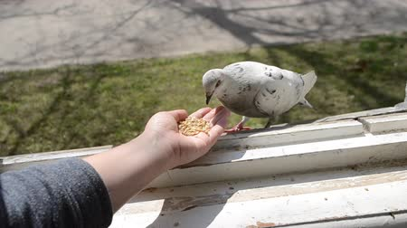 okřídlený : Feeding birds pigeons from hand on spring sunny day. Girl feeding birds doves with hands on home window sill close-up. Nature wildlife outdoor. Feathered wingy eating. Dostupné videozáznamy