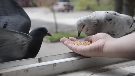 feathered : Feeding birds pigeons from hand on spring sunny day. Girl feeding birds doves with hands on home window sill close-up. Nature wildlife outdoor. Feathered wingy eating. Stock Footage