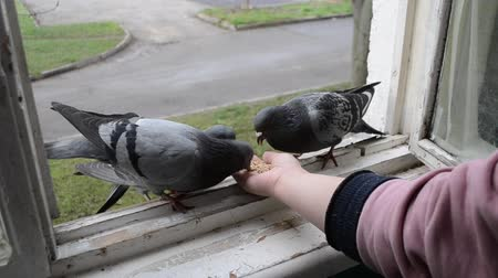 alado : Feeding birds pigeons from hand on spring sunny day. Girl feeding birds doves with hands on home window sill close-up. Nature wildlife outdoor. Feathered wingy eating. Stock Footage