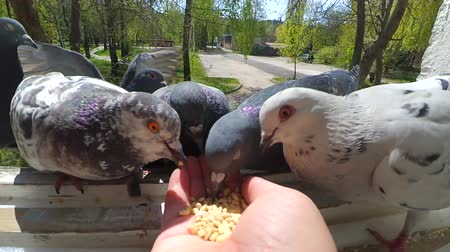 vahşi hayvan : Feeding birds pigeons from hand on spring sunny day. Girl feeding birds doves with hands on the home window sill. POV, point of view close-up. Nature wildlife outdoor
