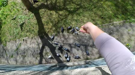 influenzy : Feeding birds pigeons from hand on spring sunny day. Girl feeding birds doves with hands on the home window sill. POV, point of view close-up. Top view. Nature wildlife outdoor