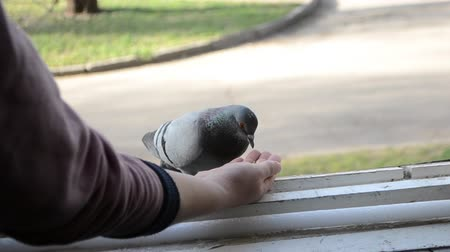 alado : Feeding birds pigeons from hand on spring sunny day. Girl feeding birds doves with hands on home window sill close-up. Nature wildlife outdoor. Feathered wingy eating. Vídeos