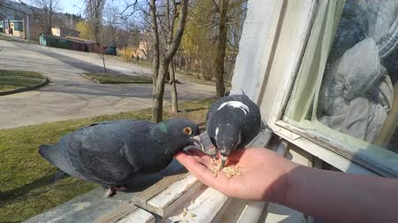 alado : Feeding birds pigeons from hand on spring sunny day. Girl feeding birds doves with hands on home window sill close-up. Nature wildlife outdoor. Feathered wingy eating. POV, point of view close-up. Vídeos