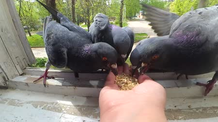 羽毛状の : Feeding birds pigeons from hand on spring sunny day. Girl feeding birds doves with hands on home window sill close-up. Nature wildlife outdoor. Feathered wingy eating. POV, point of view close-up. 動画素材