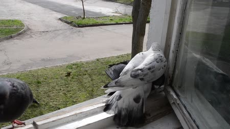 alado : Battle of pigeons on windowsill. Fight doves. Pigeons fight each other. Birds pigeons beak each other and push off. Doves birds peck at each other and push each other off. Feathered fight for place