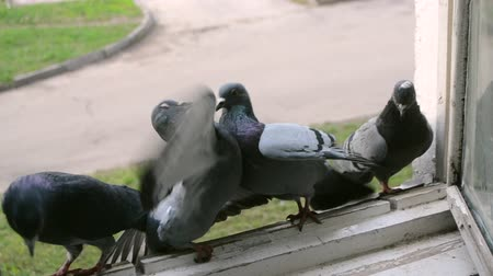 feathered : Battle of pigeons on windowsill. Fight doves. Pigeons fight each other. Birds pigeons beak each other and push off. Doves birds peck at each other and push each other off. Feathered fight for place