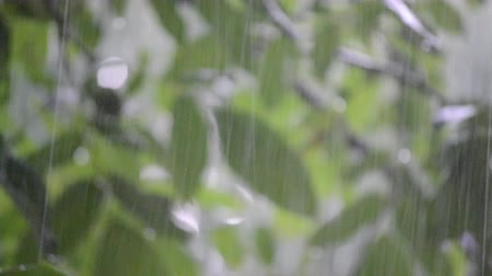 pesado : Heavy rain shower downpour cloudburst rainfall comes in the daytime. Rain drops dripping on the big green leaves of the tree Walnut close-up. Background concept rainy driving pouring rain with sound Vídeos
