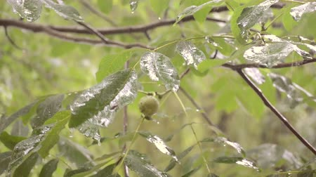 nogueira : Heavy rain shower downpour cloudburst rainfall comes in the daytime. Rain drops dripping on the big green leaves of the tree Walnut close-up. Background concept rainy driving pouring rain with sound Vídeos
